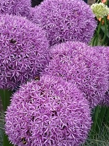 A cluster of purple aliums